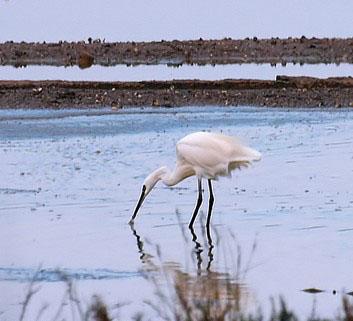 Vendicari è un'oasi per gli uccelli acquatici